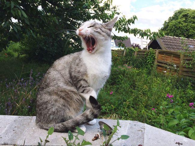 Yawning tabby cat in backyard Animal Themes One Animal Domestic Animals Pets Mammal Domestic Cat Outdoors Feline Plant Day No People Growth Yawning Grass Nature Tree Sky Backyard