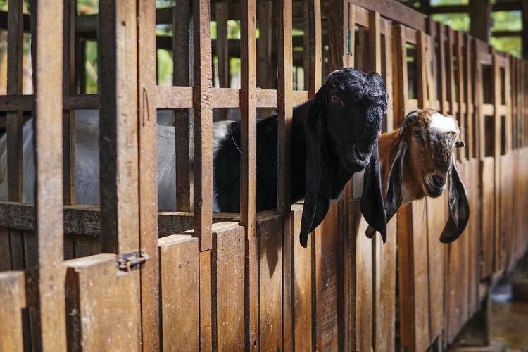 Goats in farmhouse