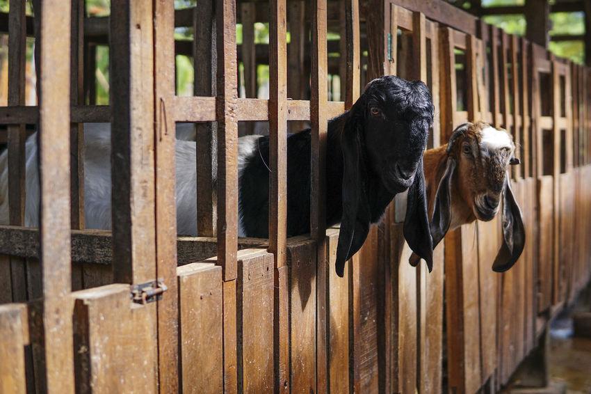 Farm Life Farmhouse Farmland Goat Goat Farm Livestock Goat Milk Milk