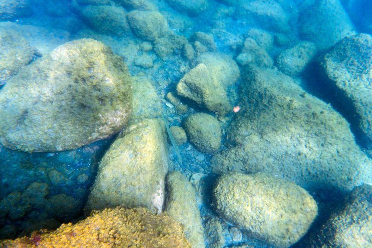 Cornetfish at