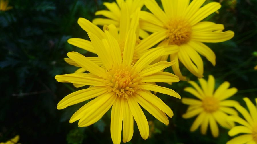 Flower Yellow Fragility Nature Beauty In Nature Close-up Petal Freshness Growth Flower Head Springtime Plant Outdoors No People Day The Good Shepherd Baguiocity Baguiocity2017