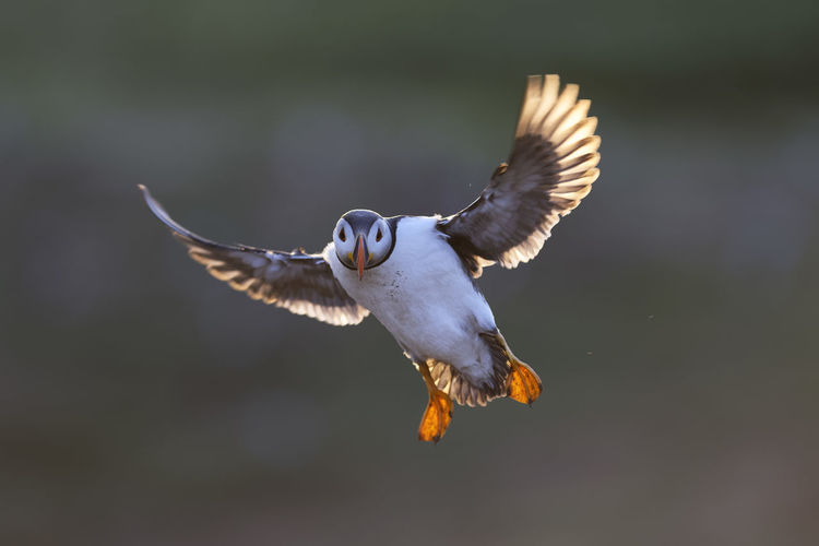 Full Length Of Puffin Flying Outdoors
