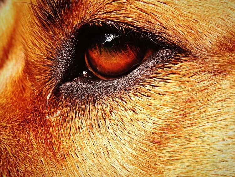 43 Golden Moments Gold Eye Dog Dog Eye Dog Eyes Eye Close Up Golden Dog