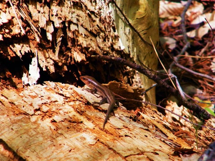 Animal Themes Animals In The Wild Day Nature No People Outdoors Skink Bask Skink In A Log Tree