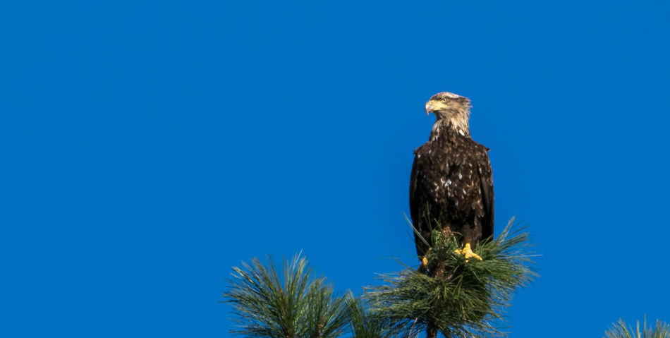 Bald Eagle Beauty In Nature Blue Clear Sky Close-up Day Growth Juvenile Bald Eagle Low Angle View Nature No People Outdoors Tranquility