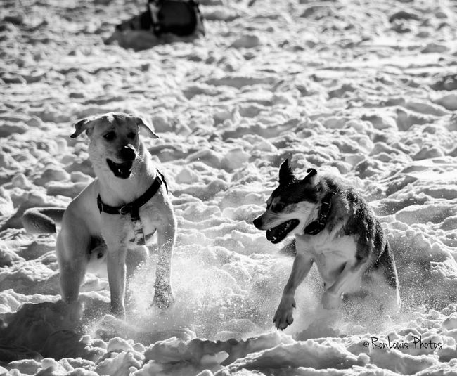 Blizzard 2016 Dogs Dog Playing Fort Greene Park Brooklyn NYC Ronlouisphotos Ronlouisdesigns After The Blizzard After The Storm