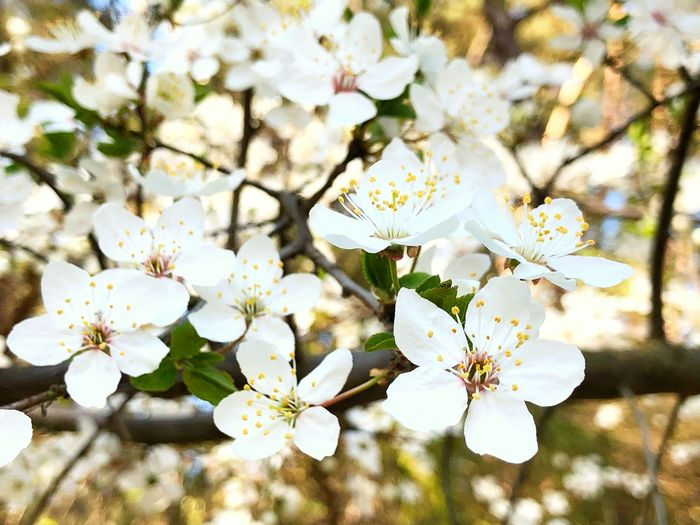 Flowers White Spring Summer Sun Nature Tree Backgrounds Wallpaper Flowering Plant Flower Plant Fragility Freshness Vulnerability  Growth Beauty In Nature Blossom Branch Close-up Springtime White Color Twig Day No People Flower Head Inflorescence Cherry Blossom Outdoors Pollen Cherry Tree