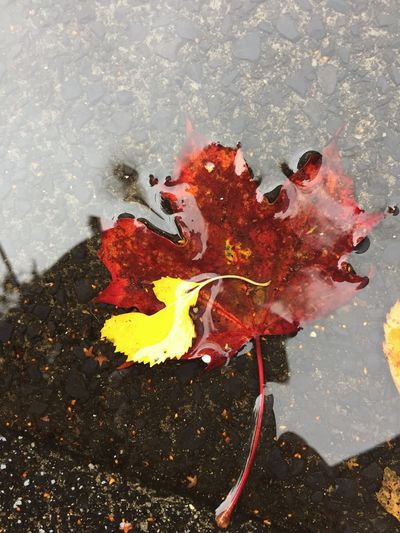 Leaf In Puddle Leaf 🍂 Autumn Leaves Autumn Colors Colors Of Autumn Colors Red Leaves Yellow Leaves Puddle Puddle Reflections Water No People High Angle View Leaf Close-up Change Fragility Outdoors Nature Day Nature