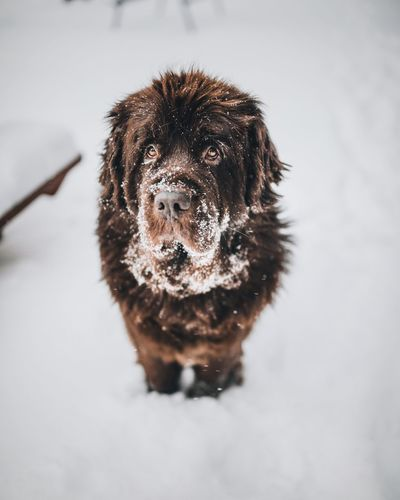 Close-up portrait of dog in snow