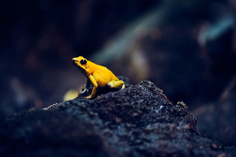 Little poisonous Friend is posing and chilling. Animal One Animal Animal Themes Animal Wildlife Animals In The Wild Yellow Selective Focus Nature Textured  Close-up Vertebrate Frog Poison Jungle Jump Skin Reptile Zürich Rock - Object Macro Macro Photography