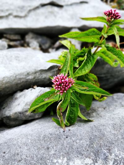 Close-up of flowering plant on rock