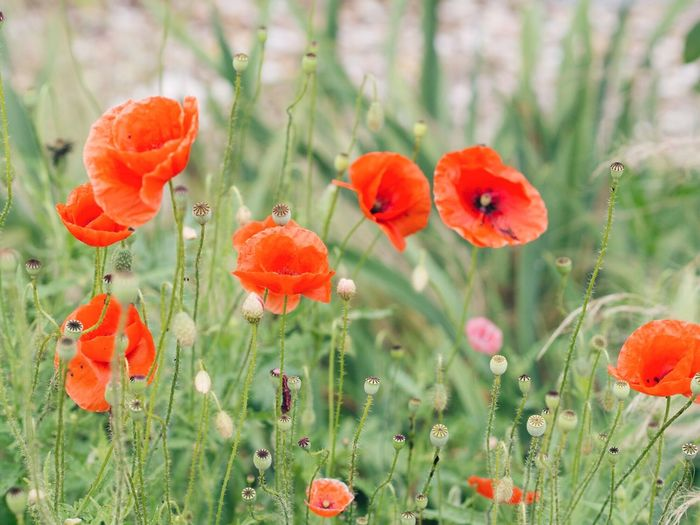 Coquelicot Plant Flowering Plant Flower Growth Vulnerability  Fragility Freshness Beauty In Nature Nature Focus On Foreground Flower Head Outdoors No People Petal