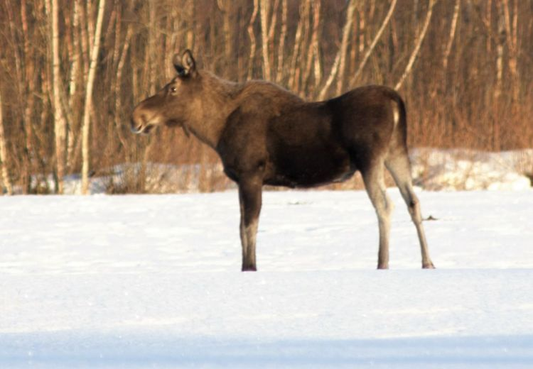 Animal Themes Animals In The Wild Cold Temperature Day Domestic Animals Field Focus On Foreground Mammal Moose Nature Norway One Animal Side View Snow Standing Walking Wildlife Winter Zoology