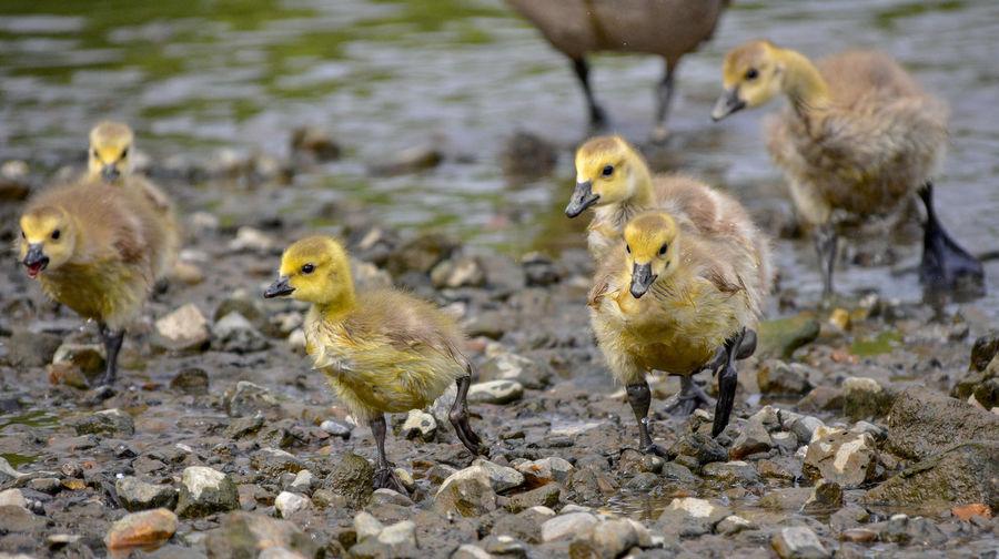 Goslings on lakeshore