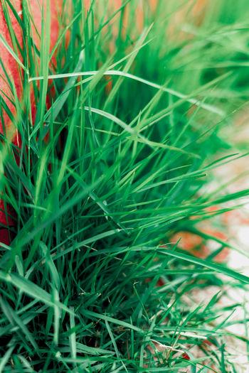 grass Grass
