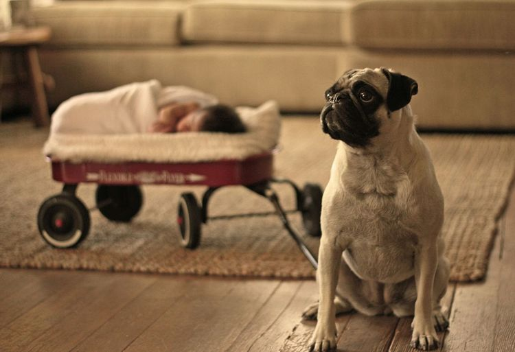 Home Is Where The Art Is Adventure Buddies The Portraitist - 2015 EyeEm Awards Pets Corner Dog Love Dog Life The Human Condition Baby Portrait Love Is In The Air Unlikely Heroes Pug Animal_collection Pug 'n Baby portrait. Pet Portraits