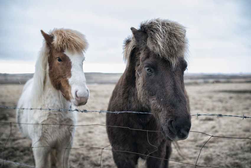 Horses in Iceland Animal Body Part Animal Hair Animal Head  Animal Themes Brown Close-up Cloud - Sky Day Domestic Animals Field Focus On Foreground Herbivorous Landscape Livestock Mammal Nature No People Outdoors Part Of Portrait Rural Scene Sky