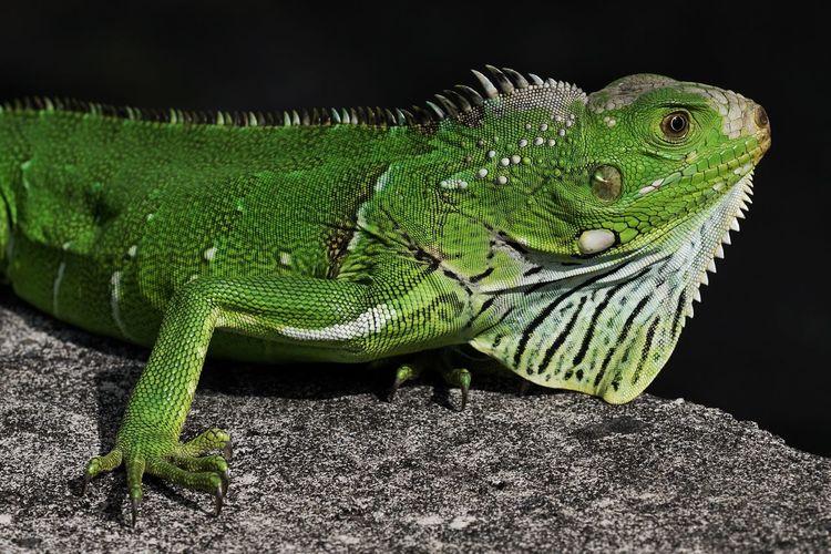 Iguana Reptile Green Color Animals In The Wild Lizard Animal Wildlife Iguana