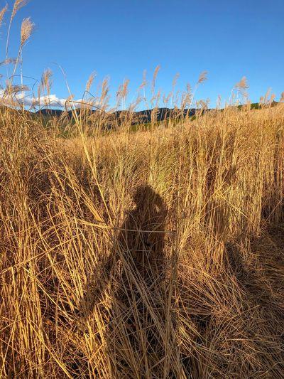 背丈より高いすすきの森 EyeEm Nature Lover EyeEm Selects Shadow Pampas Grass Japanese  Sunset Silhouettes Sunset Field No People Growth Day Outdoors Tranquil Scene Nature Blue Landscape Sky Tranquility Grass Beauty In Nature Scenics Close-up