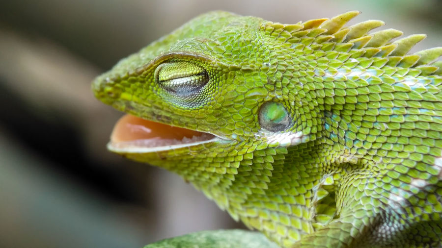 High Angle Close-Up Of Chameleon With Mouth Open