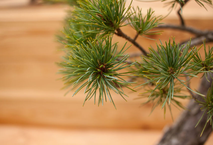Beauty In Nature Bonsai Bonsai Tree Close-up Day Focus On Foreground Freshness Green Color Growth Nature Needle - Plant Part No People Plant