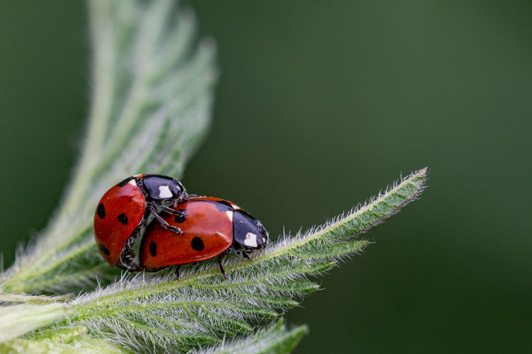 Pair of seven spot ladybirds, coccinella septempunctata, mating on the leaf of a stinging nettle