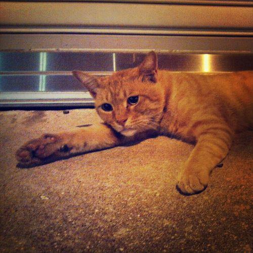 あ、暑い… ねこ Cat 暑い 夏 熱帯夜