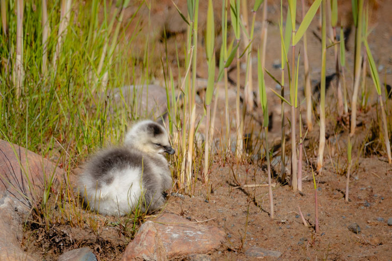 Branta Leucopsis Animal Animal Themes Animal Wildlife Animals In The Wild Barnacle Goose Bird Chick Day Field Gosling Grass Land Looking Away Mammal Nature No People One Animal Outdoors Plant Vertebrate Water Young Animal Young Bird