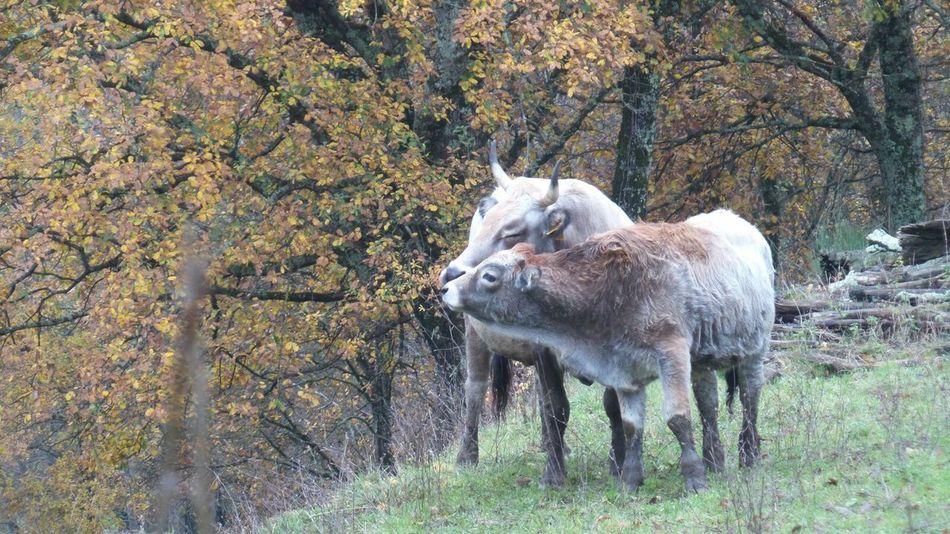 Momenti di tenerezza... tender moments... Beauty In Nature Field Domestic Animals Tenderness Tender Moments Tender, Loving Care Tender Animal Tenderly Cow Cows