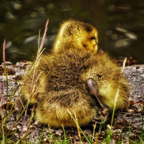 This little Gosling's sitting at the side of the Rochdale canal Manchester EyeEm Birds Birds Wildlife Wildlife Photography Birds_collection Birds Of EyeEm  Close Up Photography Eye For Photography Wildlife & Nature The Essence Of Summer Natures Diversities Fujifilm Malephotographerofthemonth HDR Majestic Nature The Great Outdoors – 2016 EyeEm Awards Nature On Your Doorstep Manchester UK EyeEm Nature Lover The Great Outdoors - 2016 EyeEm Awards EyeEm Best Shots Close-up Close Up Nature Beauty Of Nature No People Gosling, Canada Goose, Resting, Park, Grass