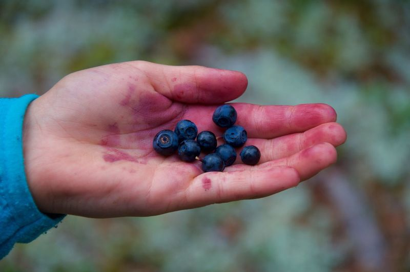 Blueberries Sweden Nature Sweden Singö Kid Hand Closeup Person Holding Focus On Foreground Close-up Berry Collection People Eye4photography  EyeEm Best Edits EyeEm Best Shots EyeEmBestPics EyeEm Gallery Eye Em Nature Lover Nature_collection Nature Photography Nature Beauty In Nature Focus Object