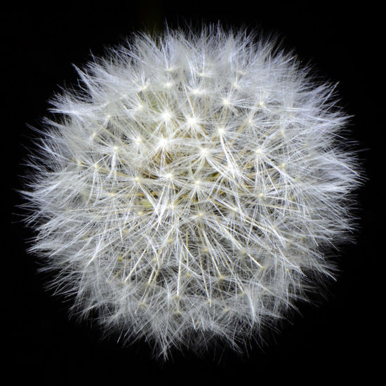 Aeolian Seeds At Night Black Background Dandelion Flower Flower Head Fragility Gone To Seed Plant Sphere White Color