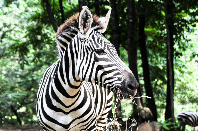 Close-up of zebra against trees
