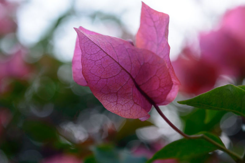Close-up of pink bougainvillea plant