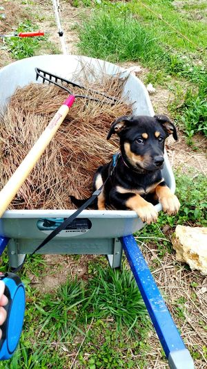 Dog Domestic Animals Outdoors Pets Puppy Lab Labrador Retriever Labrador Helper Gardening Animals