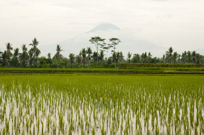 Paddy Field & Mount Merapi - Indonesia INDONESIA Agriculture Cultivated Land Field Merapi Mount Merapi Paddy Field Rice - Cereal Plant Rice Paddy