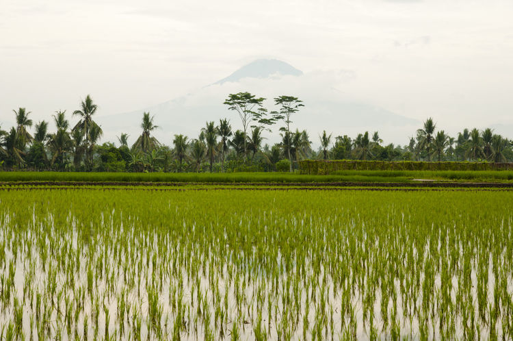 Paddy Field & Mount Merapi - Indonesia INDONESIA Agriculture Cultivated Land Field Merapi Mount Merapi Paddy Field Rice - Cereal Plant Rice Paddy