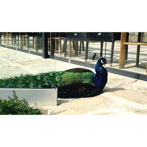 Peacock Animals Birds
