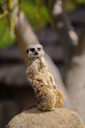 Slender-Tailed Meerkat Animal Themes Animals In The Wild Close-up Mammal Meerkat On The Lookout One Animal Slender-Tailed Meerkat Wildlife