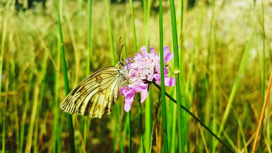 butterfly in field Flower Perching Flower Head Butterfly - Insect Insect Pink Color Purple Animal Themes Close-up Plant Butterfly Wild Animal Animal Antenna Animal Wing In Bloom