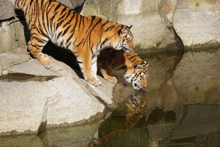 Tigers standing on rock at tierpark berlin zoo