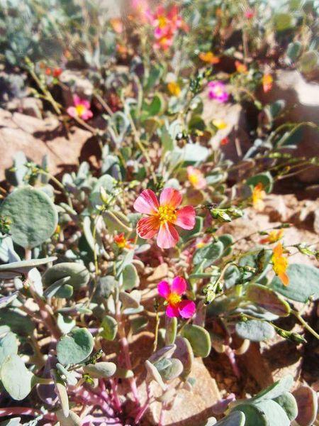 Desertflower Flowers Naturelovers EyeEm Nature Lover Noedit Beautiful Nature Getting Inspired Enjoying Nature Beautiful Day Walking Around