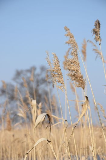 Reed Reeds, Weeds, Marshland, Marsh, Close Up Nature Dried Plant Macro Photography Focus On Foreground Blury Background Nature_collection Nature Photography