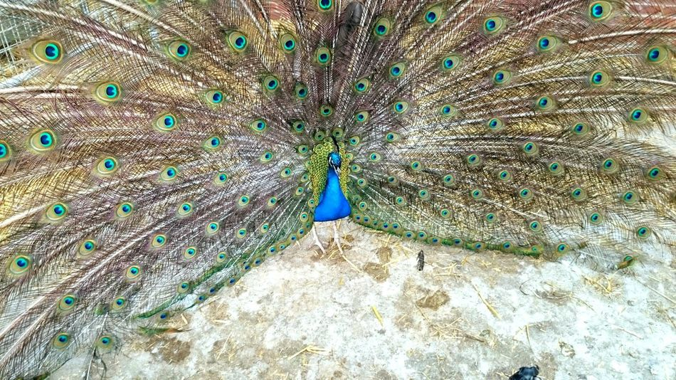 Peacock Blue Bird Peacock Feather One Animal Animal Themes Beauty In Nature Animals In The Wild Fanned Out Animal Wildlife Feather  Nature No People Outdoors Day Beauty In Nature