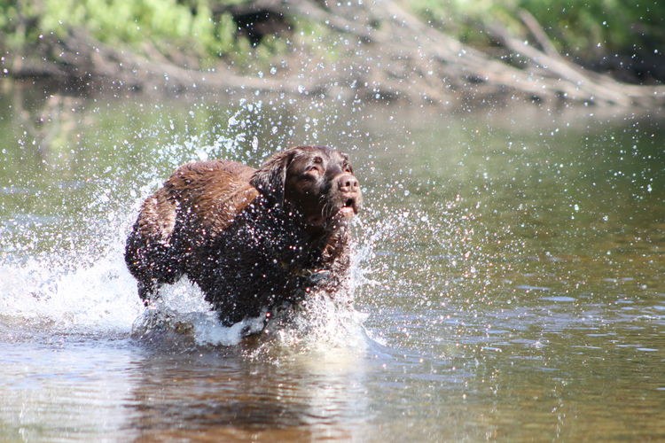 Animal Themes Day Dog Domestic Animals EyeEmNewHere Labrador Retriever Mammal Motion Nature No People One Animal Outdoors Pets Retriever Running Saguenay, Québec, Canada Splashing Water The Great Outdoors - 2017 EyeEm Awards Pet Portraits The Week On EyeEm