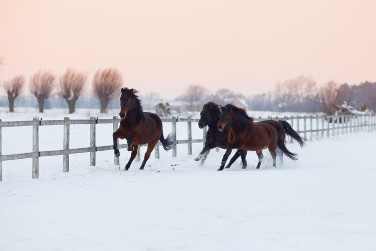 Four brown horses galloping on snowy winter paddock Active Agriculture Animal Themes Brown Cold Temperature Domestic Animals Farm Field Freedom Galloping Horses Horse Riding Horses Mammal Mammals Moving Nature No People Outdoors Paddock Riding Running Snow Stallion White Winter