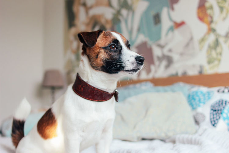 Cute puppy dog jack russell terrier looking at camera in home