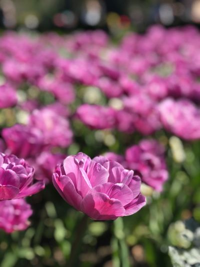 Tulips Triple Tulip Flower Flowering Plant Plant Pink Color Beauty In Nature Freshness Vulnerability  Petal Close-up Flower Head Focus On Foreground