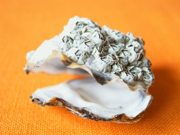 Close-up of oyster shell