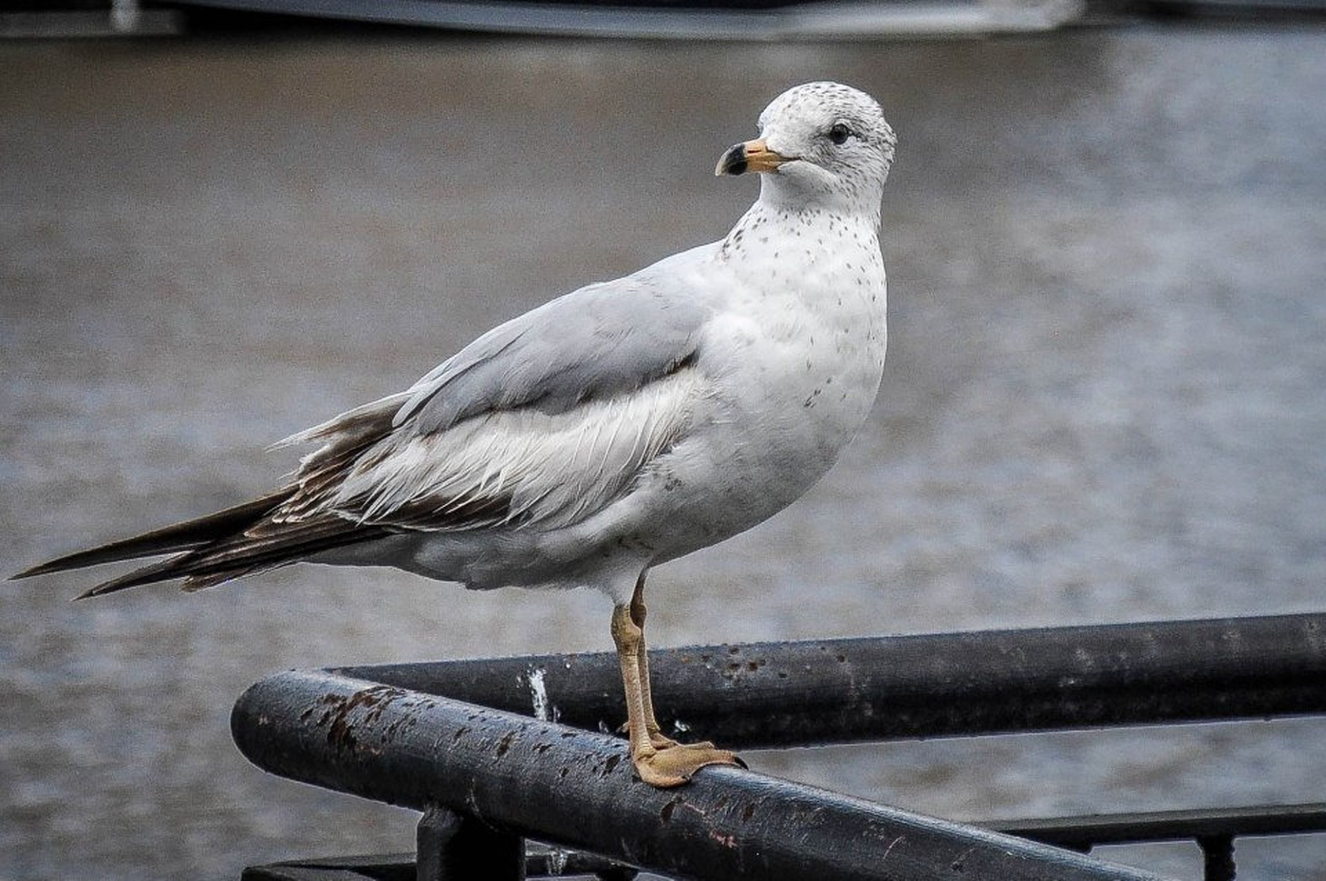 bird, animal themes, animals in the wild, one animal, wildlife, perching, focus on foreground, beak, seagull, railing, full length, close-up, nature, outdoors, wood - material, day, side view, wooden post, no people, metal
